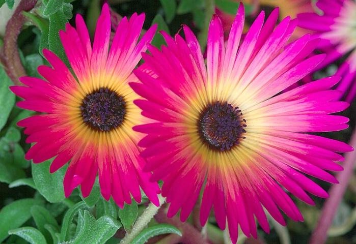 sherbet daisies