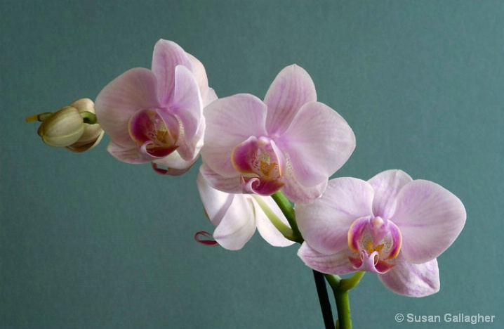 Phalaenopsis_Pink Orchid