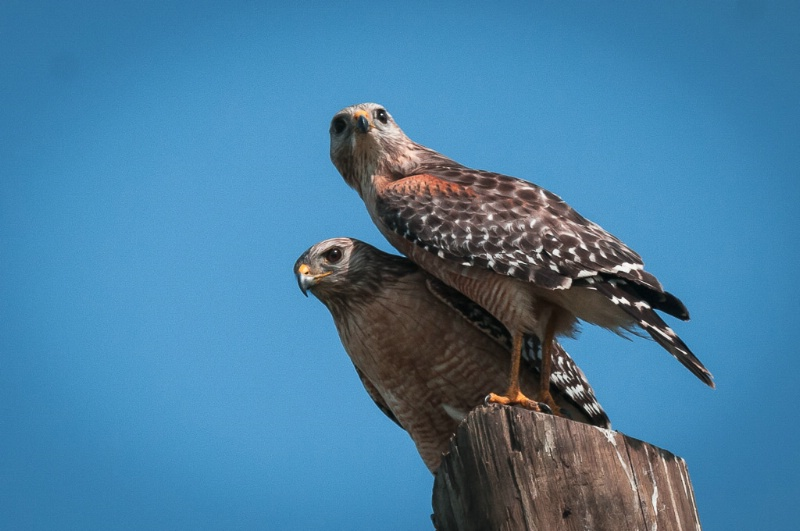 gallery 03 red shouldered hawks