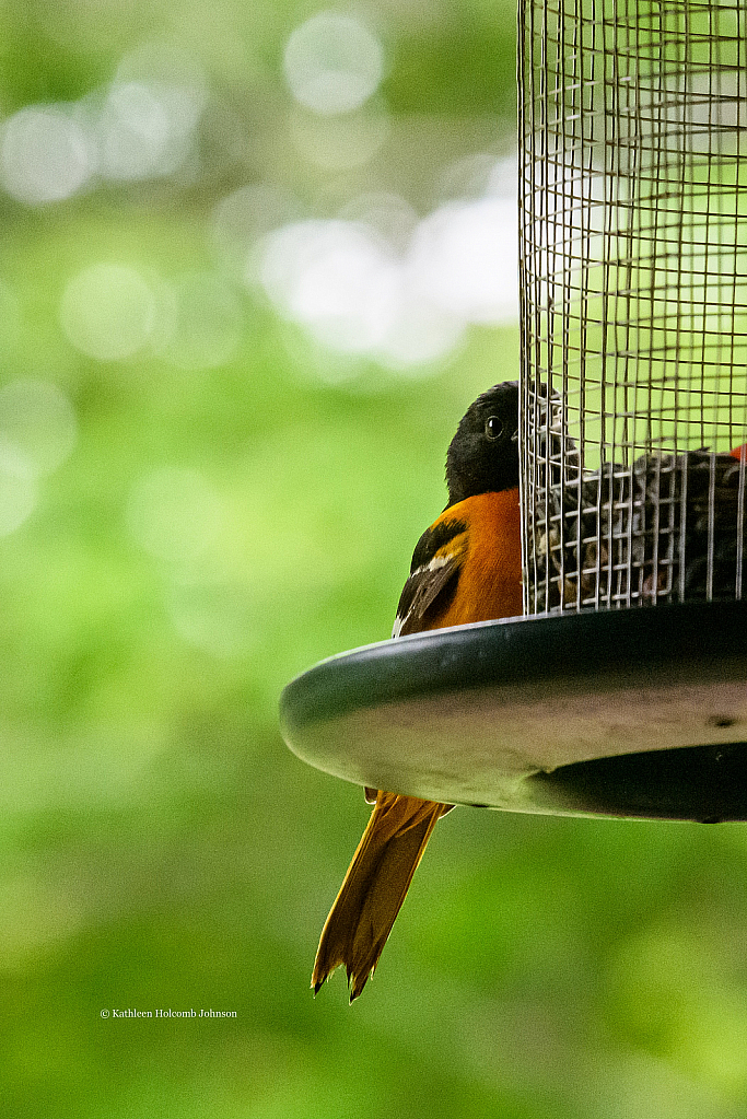 Baltimore Oriole Peaking At Me!
