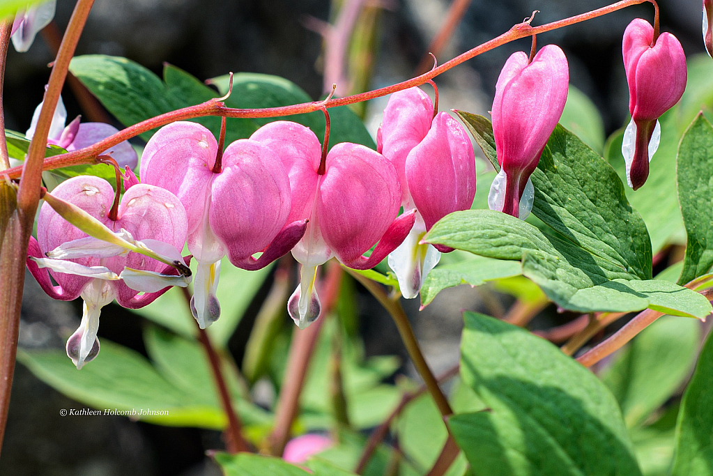Strong Yet Delicate - Bleeding Heart!