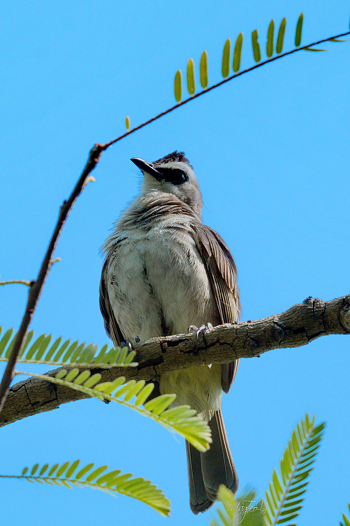 Yellow-vented Bulbul at GBTB, Singapore