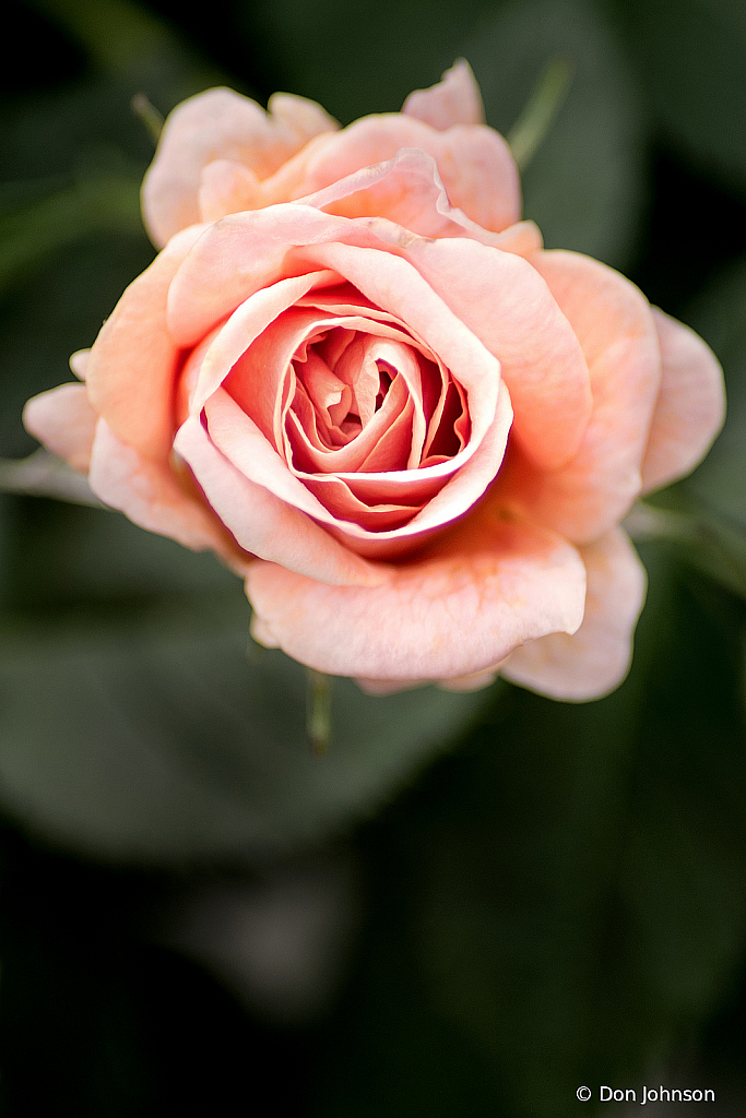 Small Pink Rose 5-8-19 298
