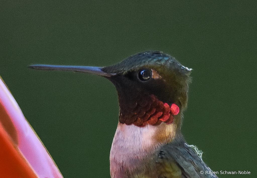 Ruby-throated Male