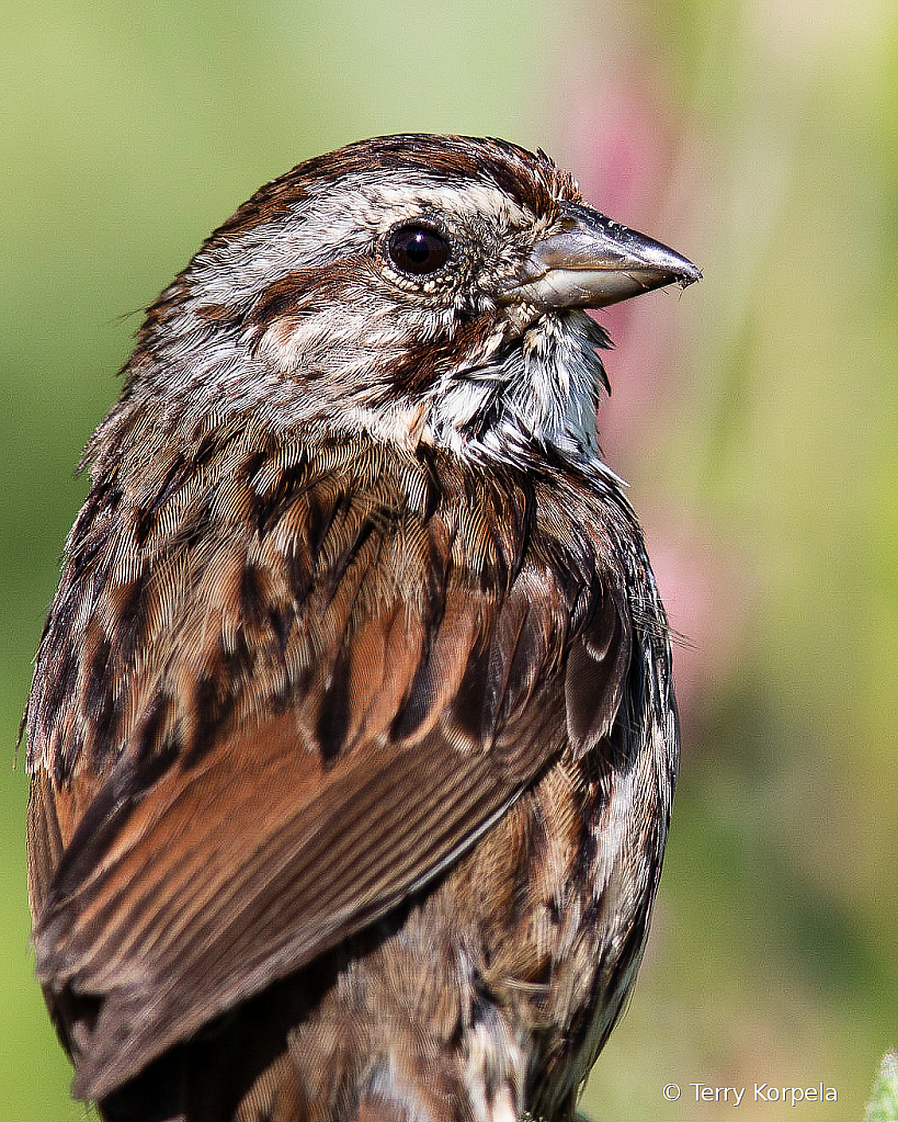 Song Sparrow (Portrait)