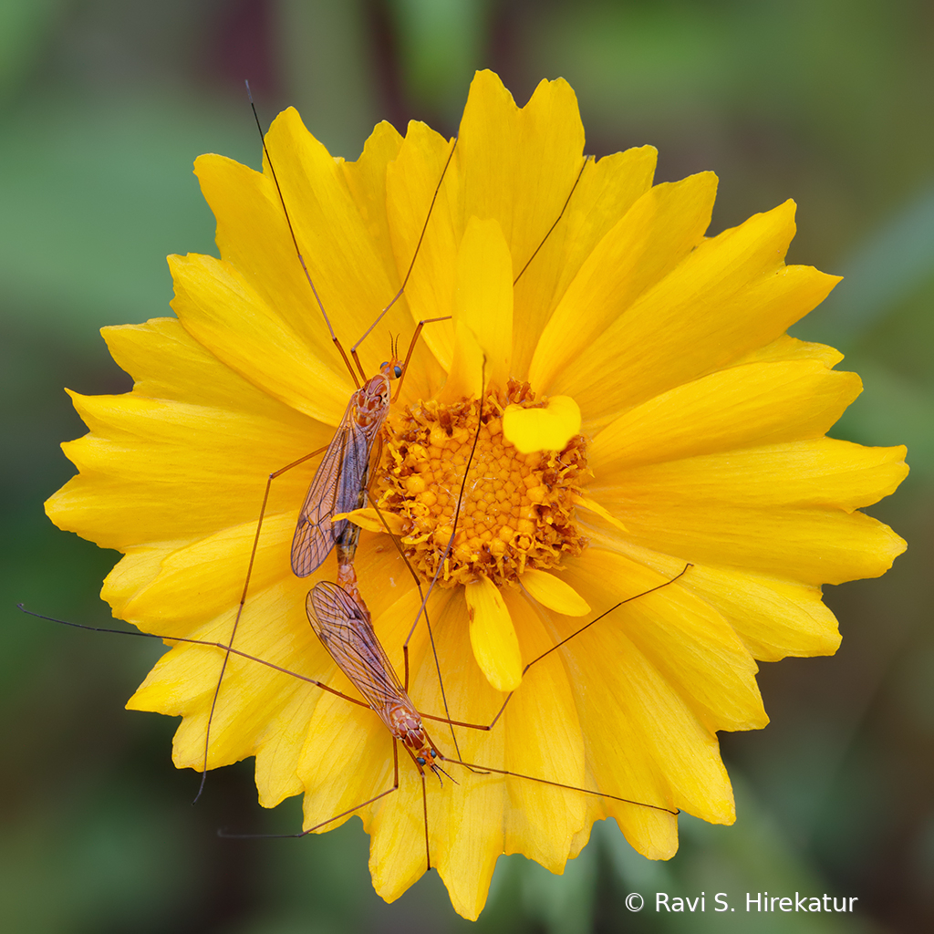 Mating Crane flies on Lance leaved Coreopsis