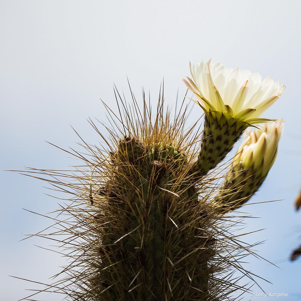 Berkeley Botanical Garden (Cactus Flower)