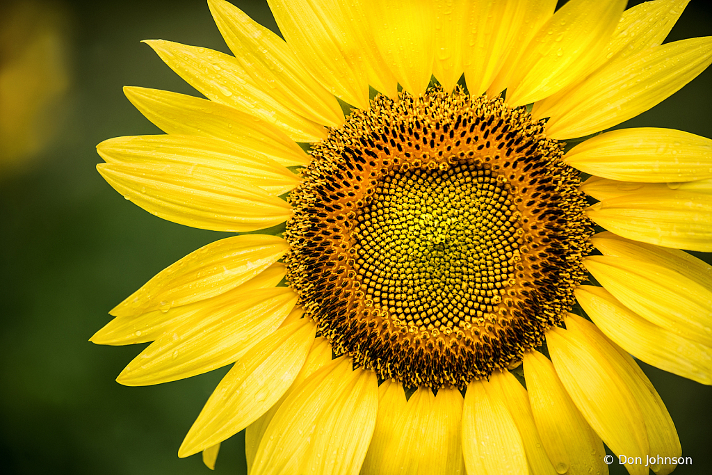 Sunflower Macro 7-7-19 395