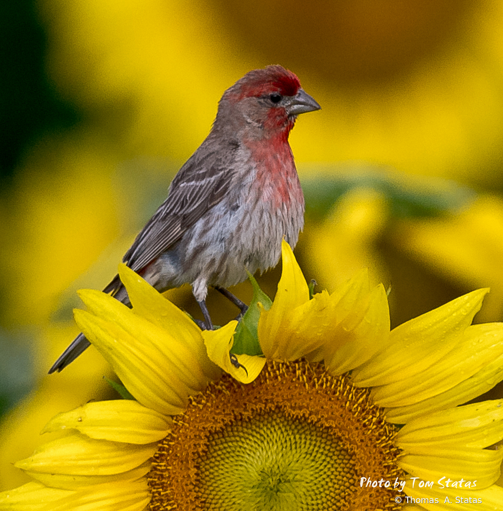 SunflowersJuly20198of10