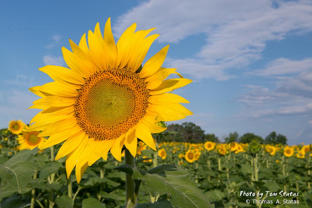 SunflowersJuly20193of10