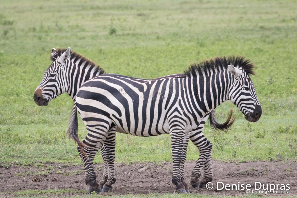 Zebra3647