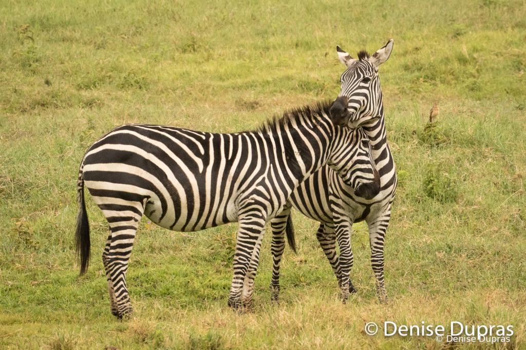 Zebra2647