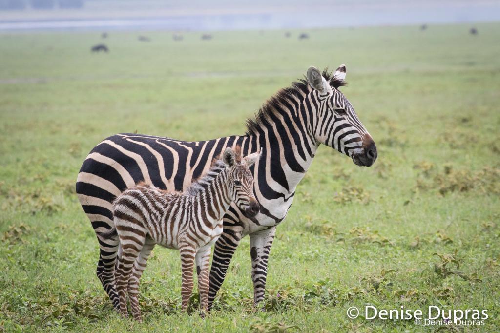 Zebra3752