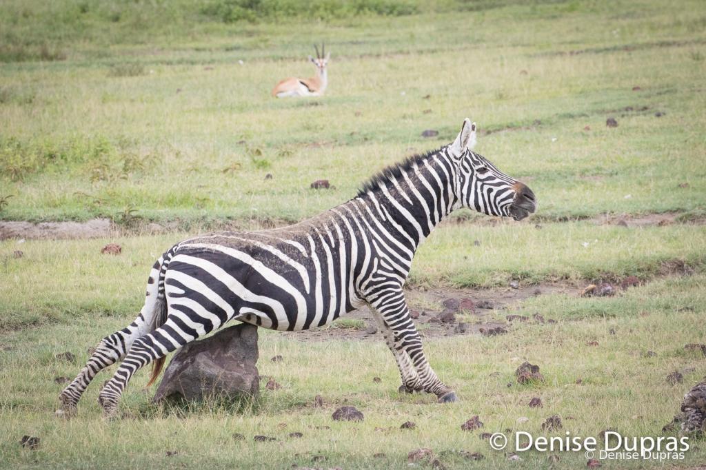 Zebra3925