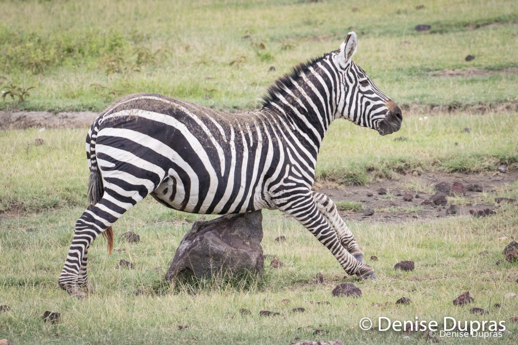 Zebra3900