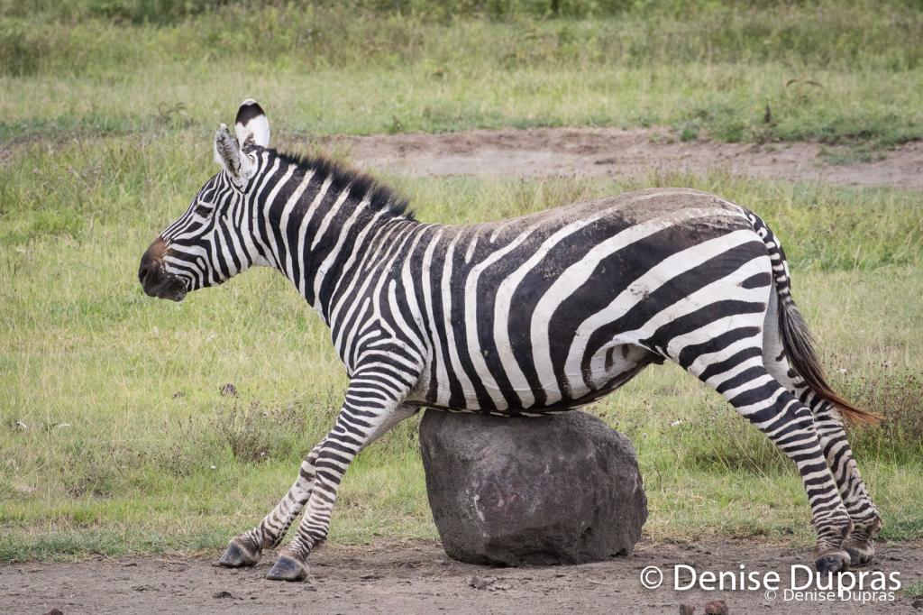 Zebra3977