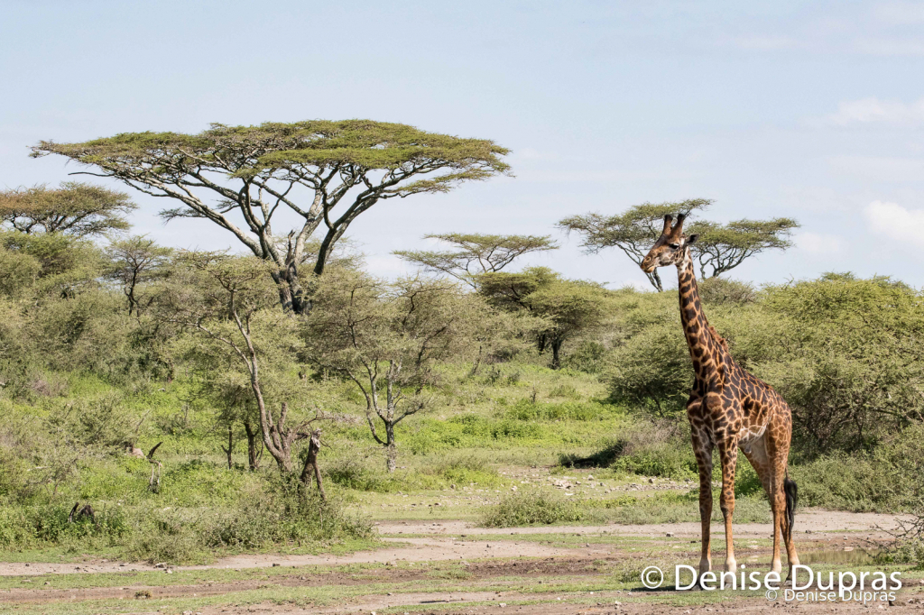 Giraffe8895