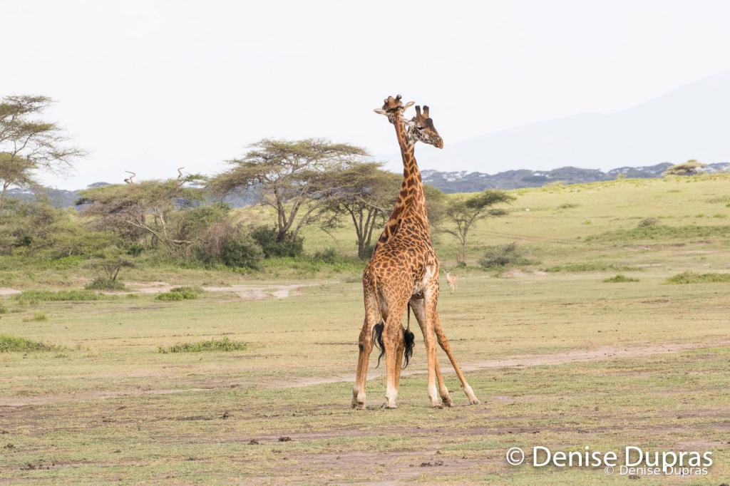 Giraffe9760