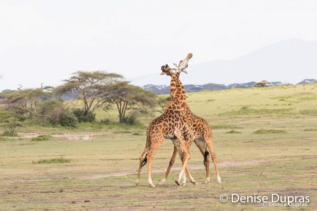 Giraffe9779