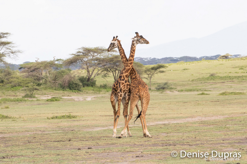 Giraffe9761