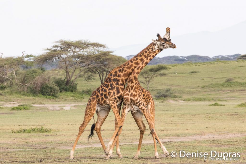 Giraffe9956