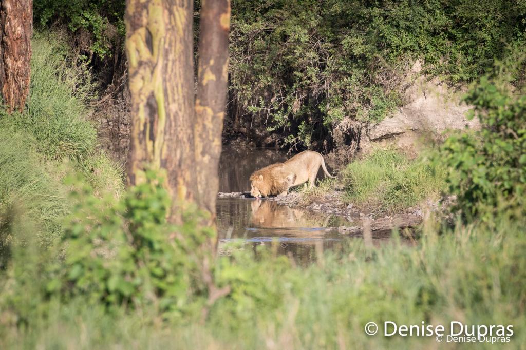 Lion3662