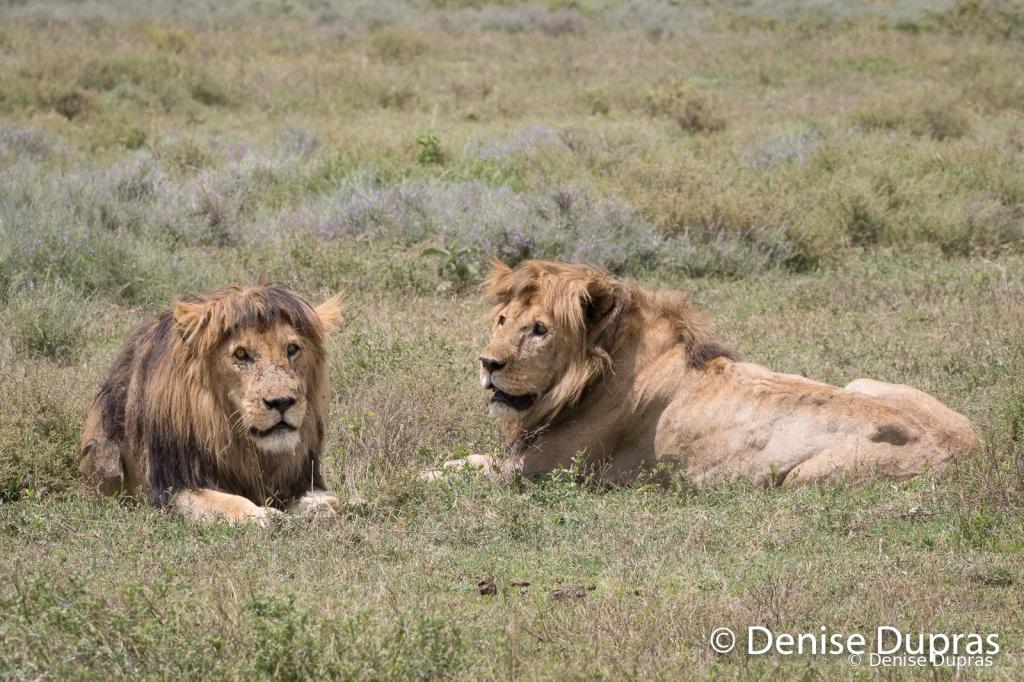 Lion5533