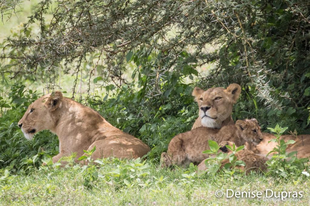Lion3520