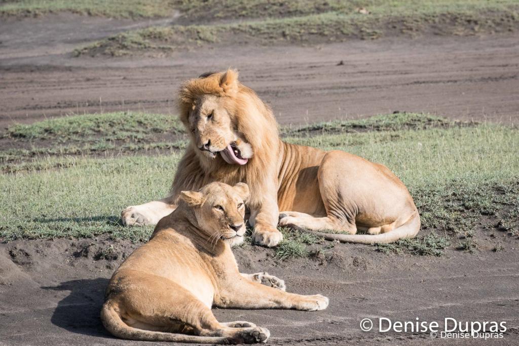 Lion6498