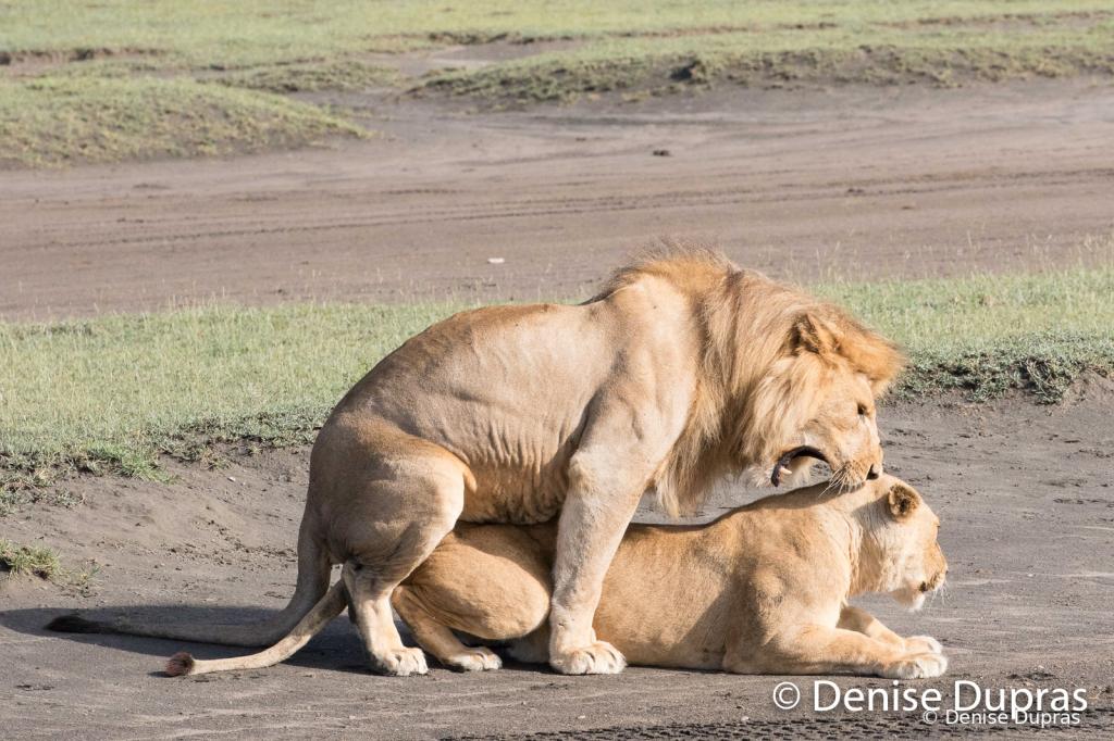 Lion6545