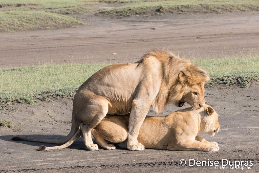 Lion6551