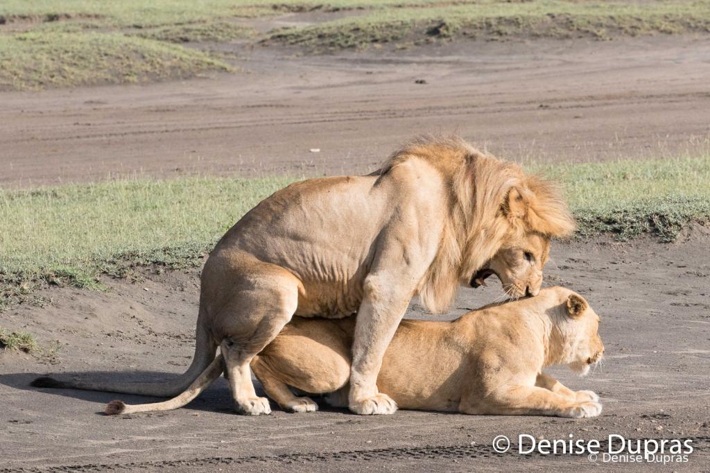 Lion6550
