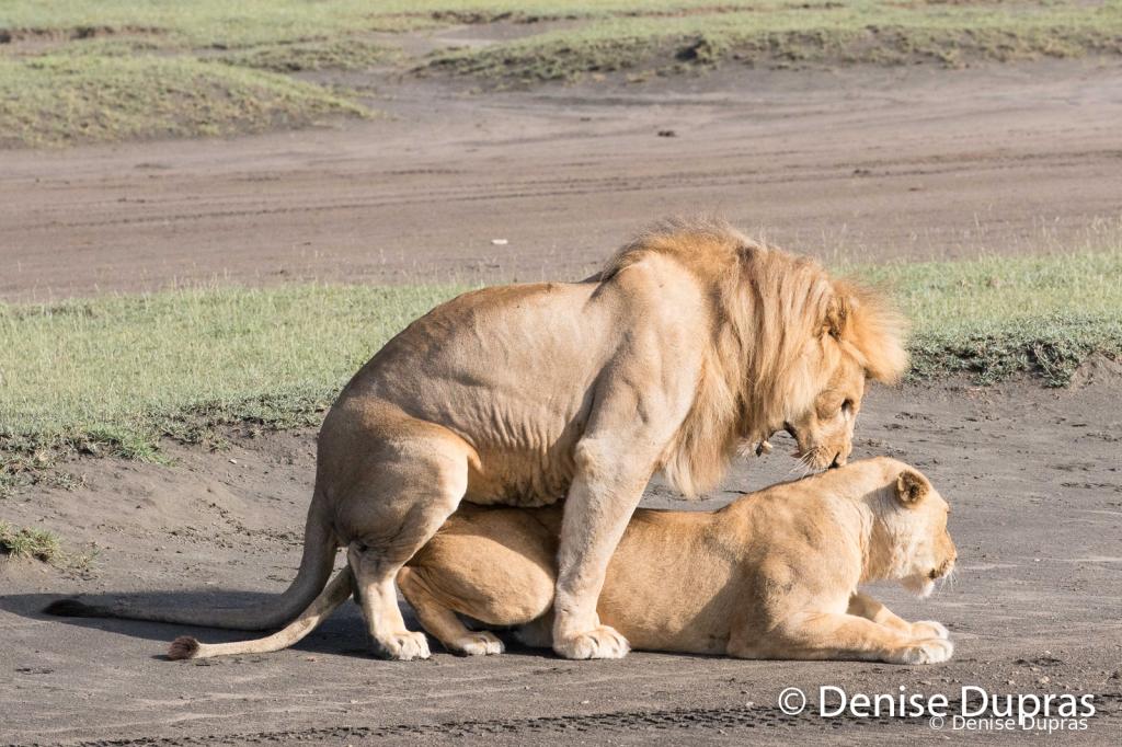 Lion6549