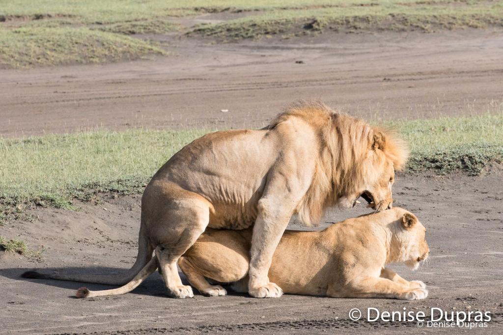 Lion6548