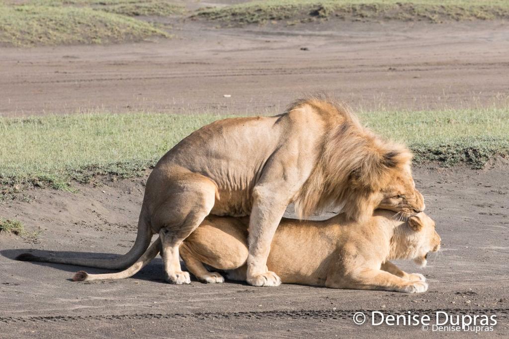 Lion6555