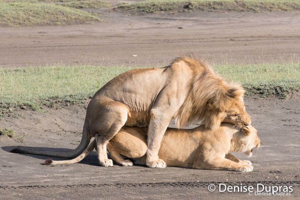 Lion6556