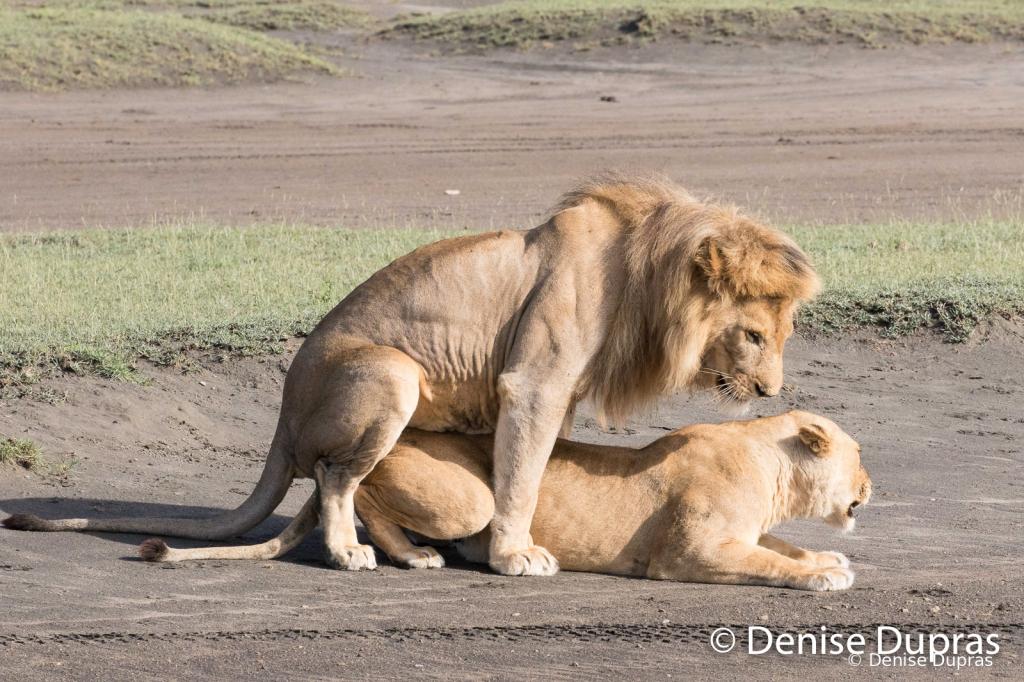 Lion6561