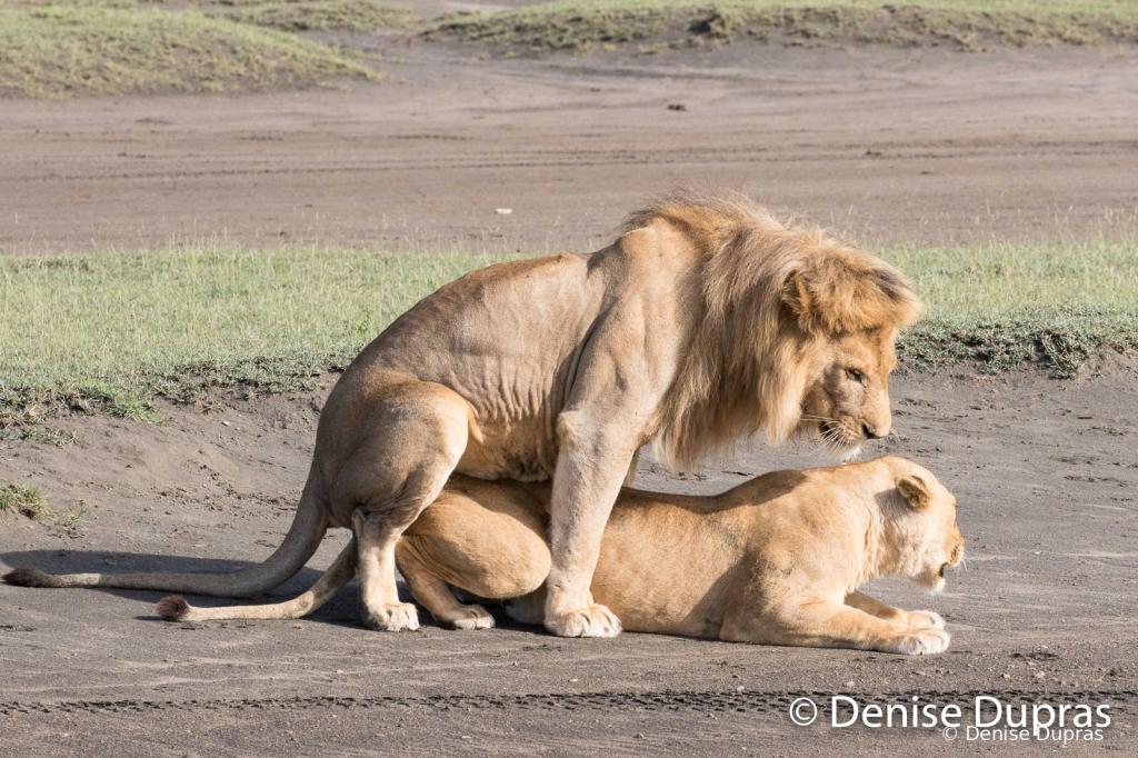 Lion6560