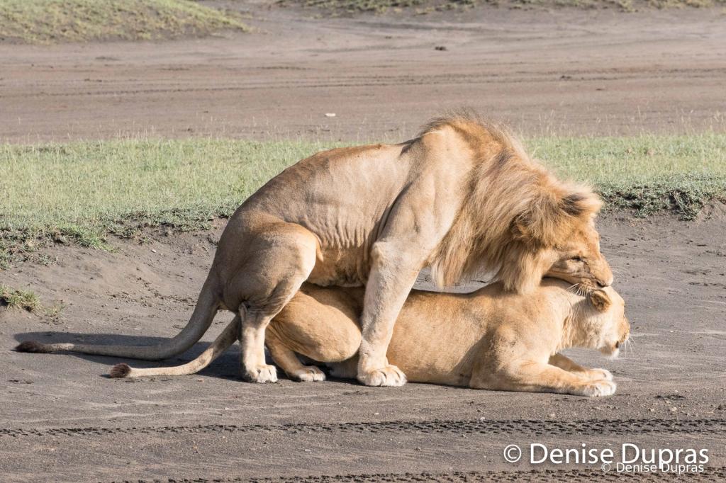 Lion6558