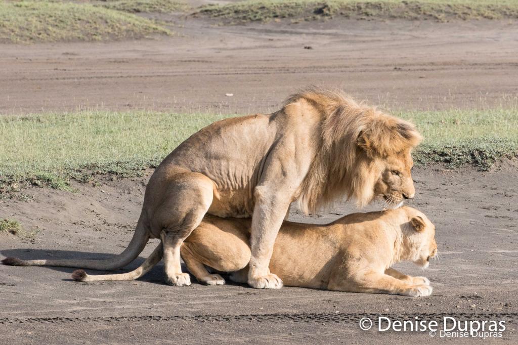 Lion6559