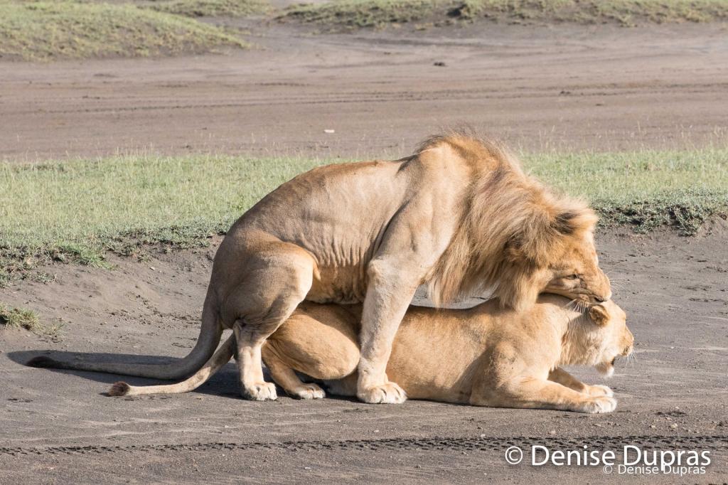 Lion6557