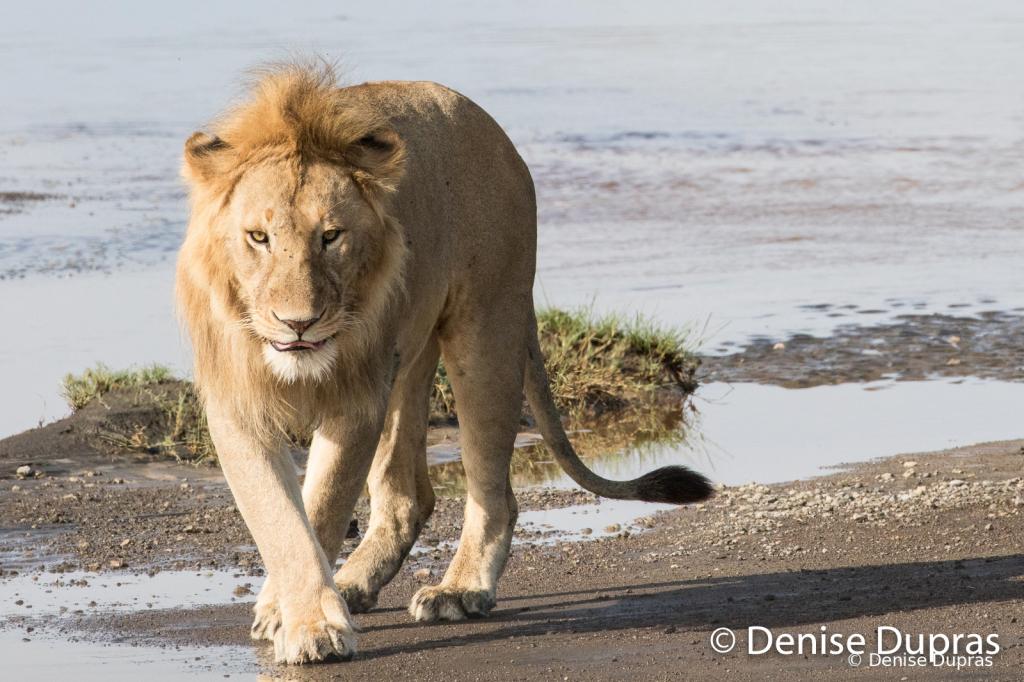 Lion6725
