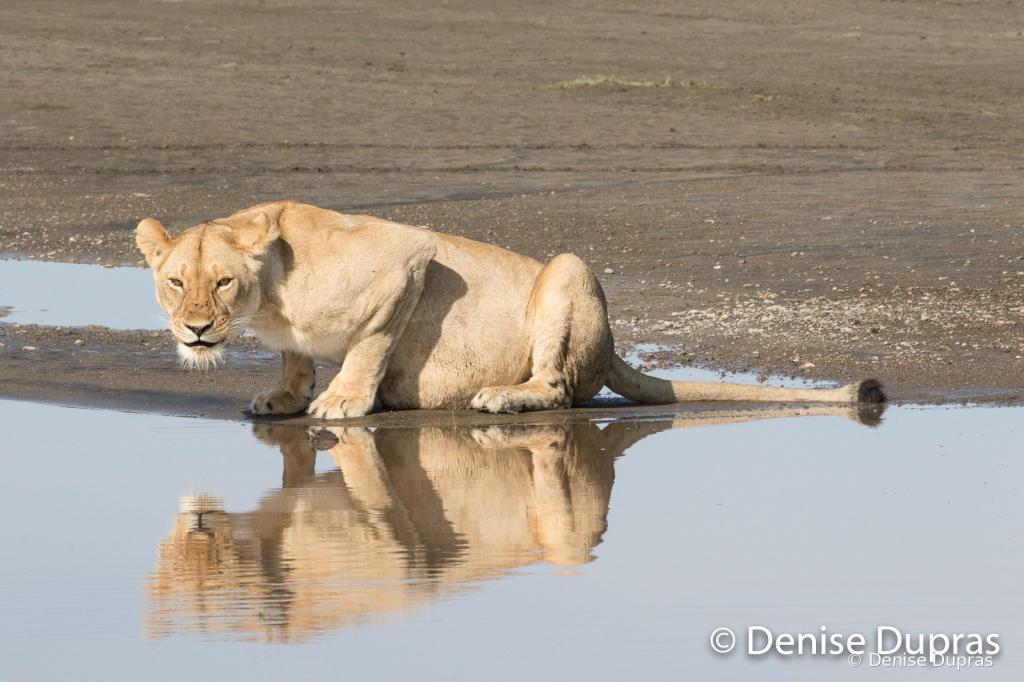 Lion6977
