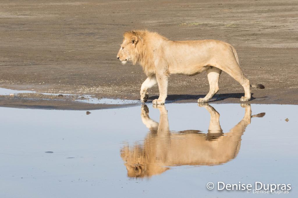 Lion6850