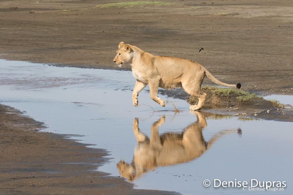 Lion7124