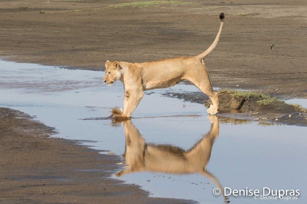 Lion7126