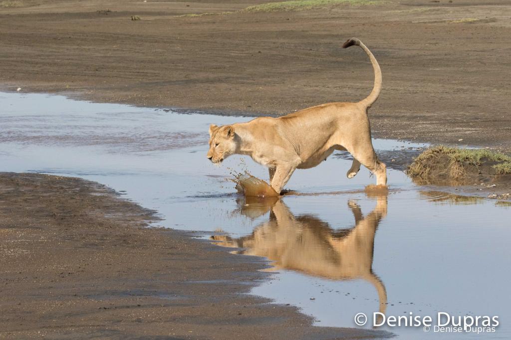 Lion7128