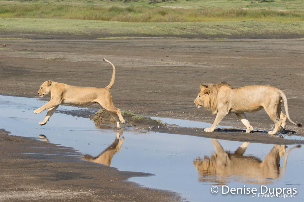 Lion7241