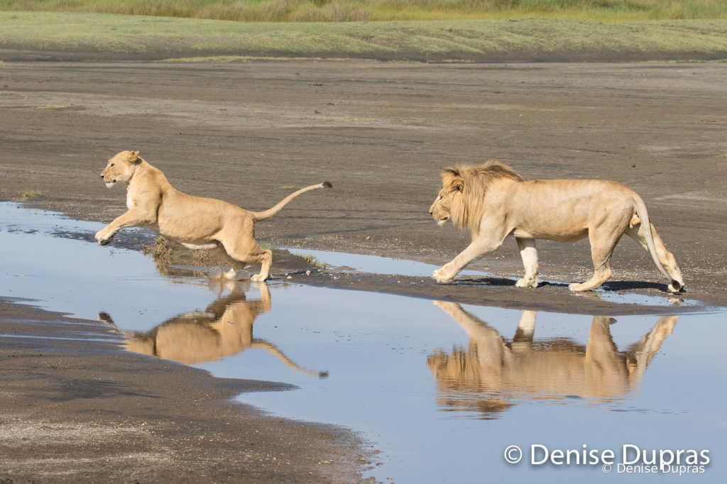 Lion7240