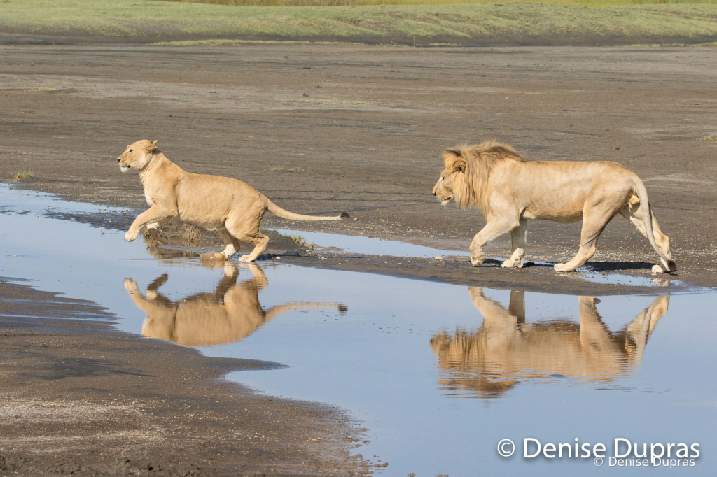 Lion7239
